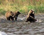Begegnung mit Kodiakbären